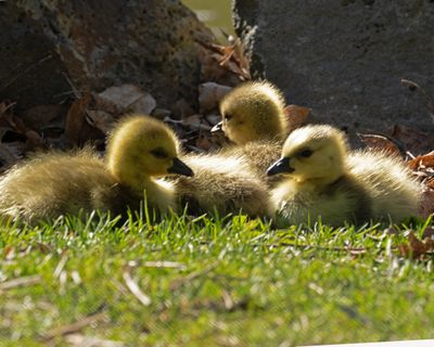 William Siler took this photo of newly hatched Canada Geese at Mirror Pond in Manito Park on May 6, 2019. (William Siler / Courtesy)
