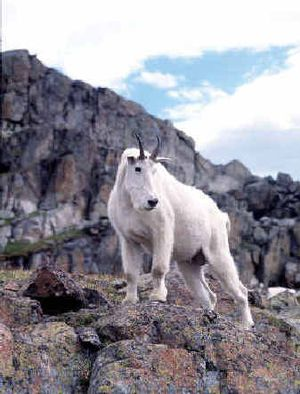 The Oregon Department of Fish and Wildlife hopes to reintroduce mountain goats to the Columbia Gorge.The Oregon Department of Fish and Wildlife hopes to reintroduce mountain goats to the Columbia Gorge.  (File/File/ / The Spokesman-Review)