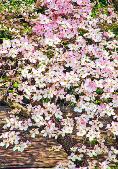 Dogwoods do well in morning sun with some shade from the hot afternoon sun.  (SXC / The Spokesman-Review)