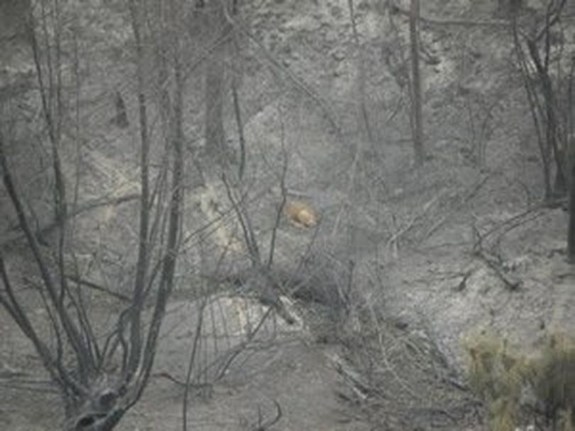A mule deer roams through an area burned by the summer 2014 Carlton Complex fires in northcentral Washington. (Washington Department of Fish and Wildlife)