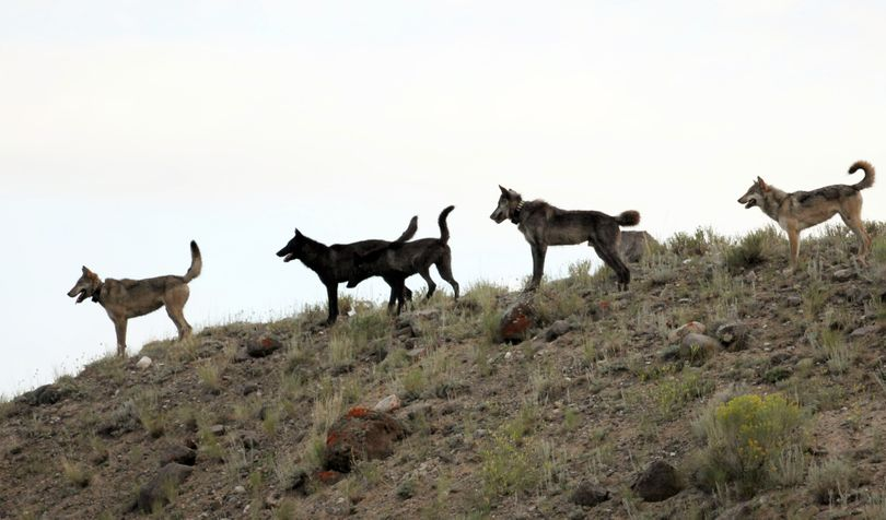 FILE - In this August 2012 file photo provided by Wolves of the Rockies, the Lamar Canyon wolf pack moves on a hillside in Yellowstone National Park, Wyo. As the progeny of wolves reintroduced to Yellowstone and central Idaho in 1995 and 1996 spread across the West, an accidental experiment has developed. A temporary court order has made Oregon a wolf-safe zone, where wildlife agents are barred from killing wolves that attack livestock. Over the past year, the numbers of wolves has risen to 46 in Oregon, but livestock attacks have remained static. In neighboring Idaho, the number livestock attacks rose dramatically as the numbers of wolves killed by hunters and wildlife agents also increased. (Wolves Of The Rockies)