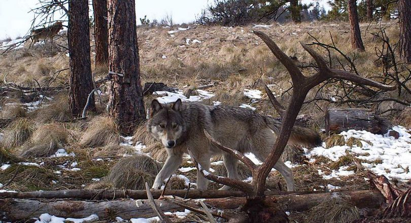 This trail cam photo showing two gray wolves near an elk carcass enabled Washington wildlife officials to confirm the Wenatchee Pack. The camera was put out by hunting guide Stuart Hurd in March 2013.