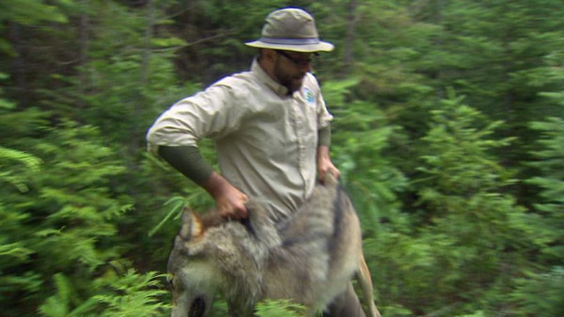 Paul Frame, Washington Department of Fish and Wildlife trapper, handles a 94-pound male gray wolf on July 16, 2012. The wolve had been trapped and trandquilized so a radio collar could be attached for monitoring its movements. The effort pegged the presense of the Wedge Pack, Washington's eighth confirmed wolf pack. (KING 5 News)