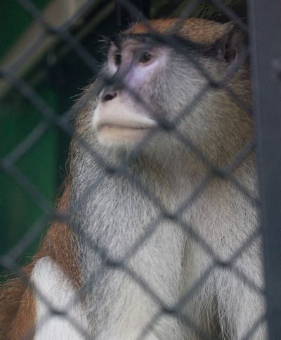 A Patas monkey looks out of his cage at Zoo Boise after his cage mate was severely injured and died in Boise on Saturday. (Associated Press)