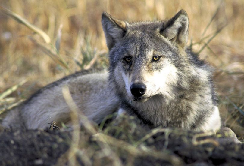 A gray wolf rests in tall grass in this undated photo provided by the U.S. Fish and Wildlife Service. (Associated Press)