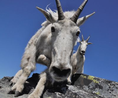 Mountain goats approach hikers on the summit of Scotchman Peak in 2013, apparently looking for food or salty packs or skin to lick. (File)