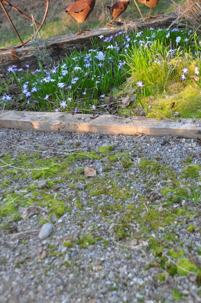 Moss can colonize anywhere there is shade, moisture and compacted soil or in this case, gravel. To really get rid of moss, you have to change the soil conditions which can take a lot of work. (Pat Munts / The Spokesman-Review)