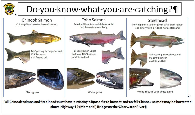 Chart shows identifying features of Clearwater River fish. (Idaho Department of Fish and Game)