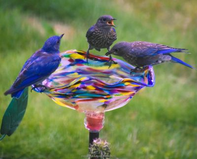 Angela Roth photographed these bluebirds on Aug. 17 in her backyard in Nine Mile Falls. It was 100 degrees and all kinds of birds were flocking to the many water bowls and bird baths she has out for them. This is an adult bluebird and juveniles at a blown glass bird bath.  (Angela Roth/courtesy)