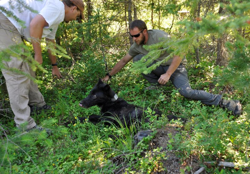 A yearling female gray wolf is set in the shade by Washington Fish and Wildlife Department biologist Scott Becker, left, and Trent Roussin, so it can continue waking from the effect of tranquilizers before taking off on its own again. It was captured and fitted with ear tags and a GPS collar on July 15, 2013, in Pend Oreille County. RICH LANDERS richl@spokesman.com (Rich Landers)
