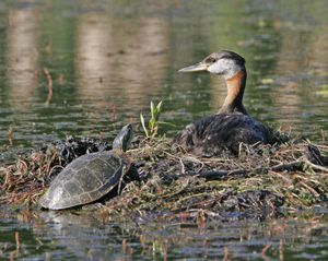 A red-necked grebe welcomes a painted turtle to enjoy the morning sun on her nest at the south end of Silver Lake.