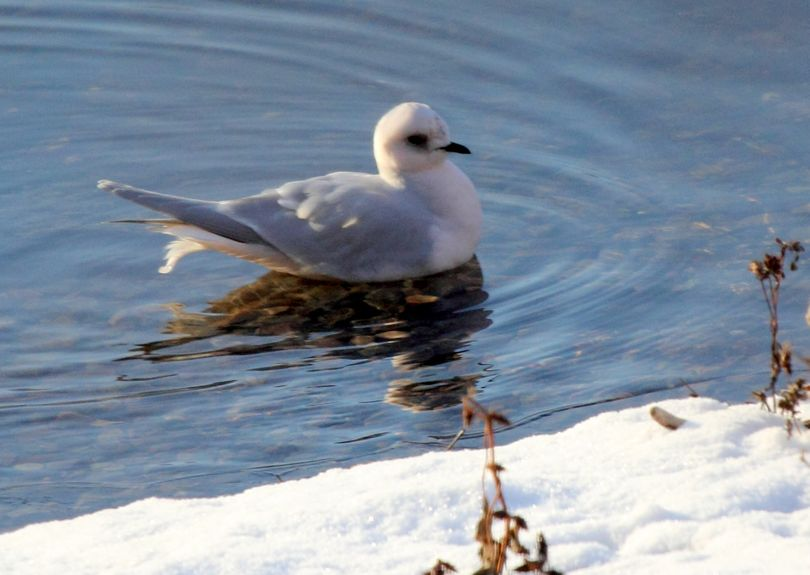 A Ross's gull photographed at Palmer Lake in Okanogan County in December 2011 by Kenneth Trease. (Kenneth Trease)