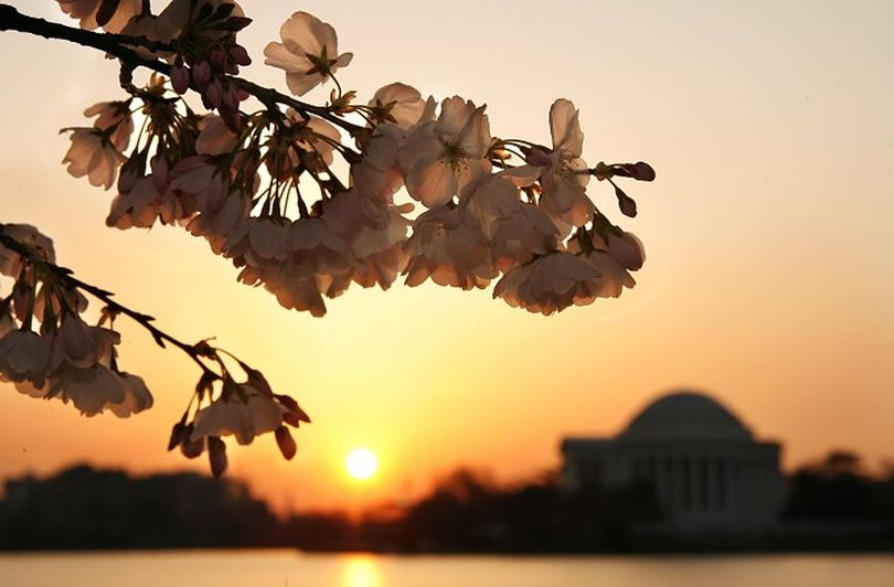Cherry blossoms are in bloom at sunrise across from the Jefferson Memorial in Washington on Wednesday March 26, 2008. The trees are predicted to be in peak bloom from March 27 through April 3, 2008, according to the park service's chief horticulturist, Rob DeFeo. (AP Photo/Jacquelyn Martin)  ORG XMIT: DCJM101 (Jacquelyn Martin / The Spokesman-Review)