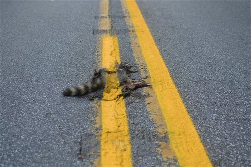 This photo provided by Sean McAfee from Thursday, Aug. 2, 2012, shows a dead raccoon that McAfee saw with the road dividing line painted over it before he stopped his motorcycle to take the picture on Franklin Rd. in Johnstown, Pa. According to PennDOT traffic engineer John Ambrosini, paint crews know to avoid such animals and usually have a foreman on the job to clear any dead animals off the road before the paint-spraying truck equipment passes by. This crew didn't have a foreman that day, and the equipment was too big to turn around in traffic on the curvy, narrow road so the line could be repainted without the carcass in the way. (AP Photo/Sean McAfee) NO SALES ((AP Photo/Sean McAfee))