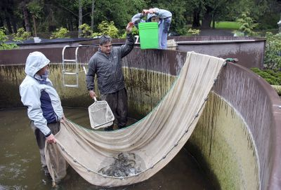 Rick Endicott and Joy Waltermire, with the help of Teresa Sjostrom, right,  of the Hood Canal Salmon Enhancement Group, capture  2-year-old steelhead smolts at the Long Live the Kings hatchery in Lilliwaup, Wash., to transport them to the Dewatto River for release.  (Associated Press / The Spokesman-Review)
