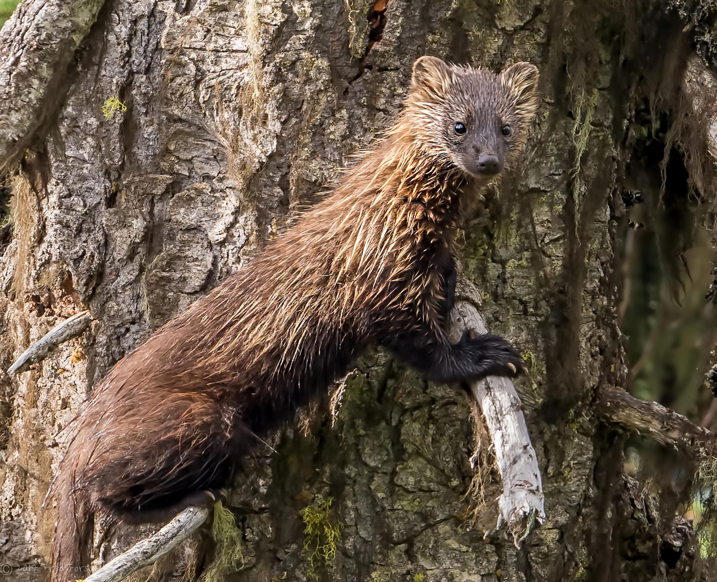 Fishers Have Returned To Western Washington Are The Selkirks Next The Spokesman Review