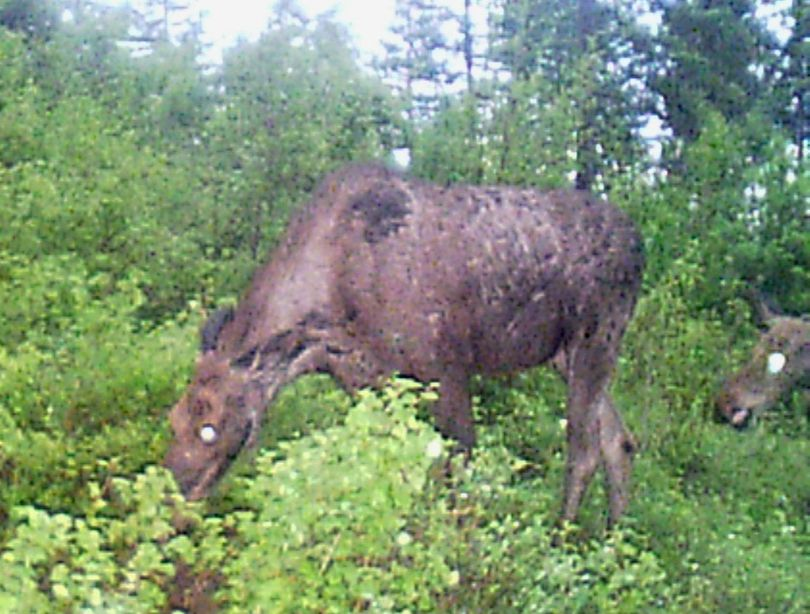 A cow moose and calf trip the motion-activated shutter of a trail cam set up in Stevens County by Kevin Scheib of Colville. (Kevin Scheib)