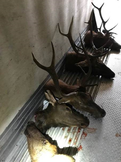 Elk heads seized after police charged nine men alleged to have illegally killed at least three elk in the Endicott-St. John area.  (WDFW/courtesy)