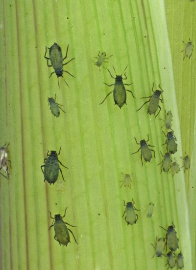 This undated photo provided by the Boyce Thompson Institute shows corn leaf aphids used in a study to modify crop plants through engineered viruses. (Meena Haribal / Associated Press)