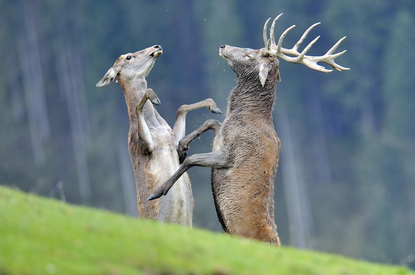 ** CORRECTS TO STAG AND DOE ** A stag and a doe interact during the rutting season in a wildlife park in Aurach near Kitzbuehel, in the Austrian province of Tyrol, on Friday, Oct. 1, 2010. (Kerstin Joensson / Associated Press)