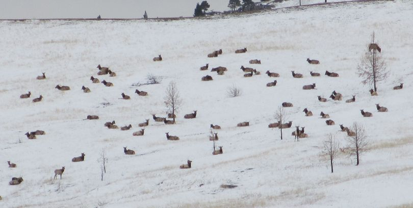 Montana's elk shoulder season, which has turned out to be extremely popular,  is meant to reduce the number of elk on private land.  (Montana Fish, Wildlife and Parks)