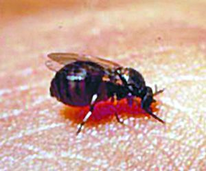 Black flies are prevalent this spring, thanks to the weather.