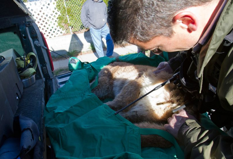 Rich Beausoleil, cougar expert with the Washington state Department of Fish and Wildlife, looks at a cougar cub after it had been shot and killed Monday, April 11, 2011 in Wenatchee, Wash. (Kathryn Stevens / The Wenatchee World)