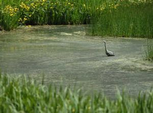 A great blue heron take refuge in the still water near the banks of the Little Spokane River at Riverside State Park's Indian Painted Rocks Trail in Nine Mile Falls.  (INGRID Barrentine/ / The Spokesman-Review)