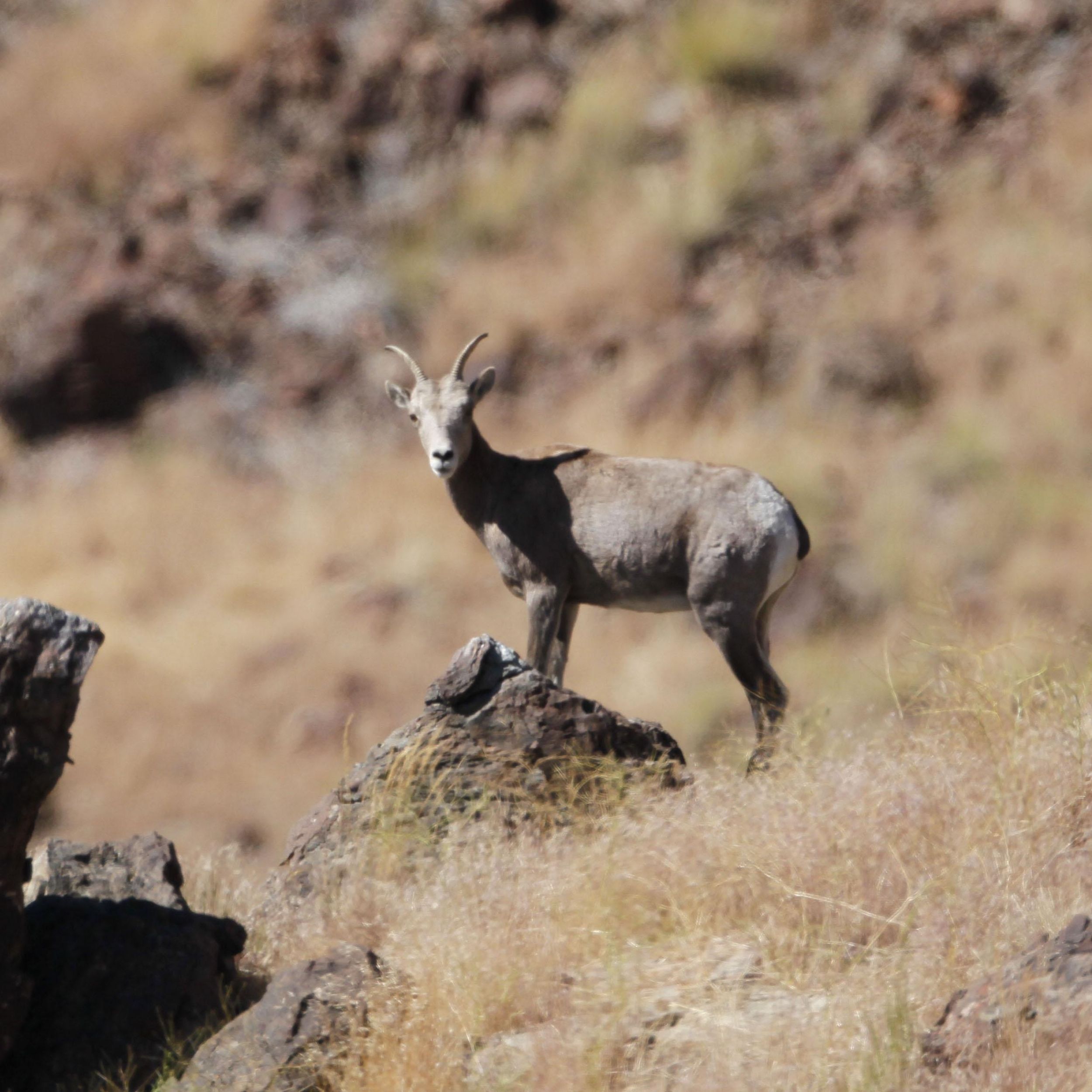Nevada Reluctantly Killed Bighorn Sheep To Save Them The Spokesman Review
