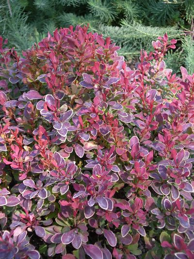 Golden Ruby barberry  will brighten the front of any border. Special to  (PAT MUNTS  Special to / The Spokesman-Review)