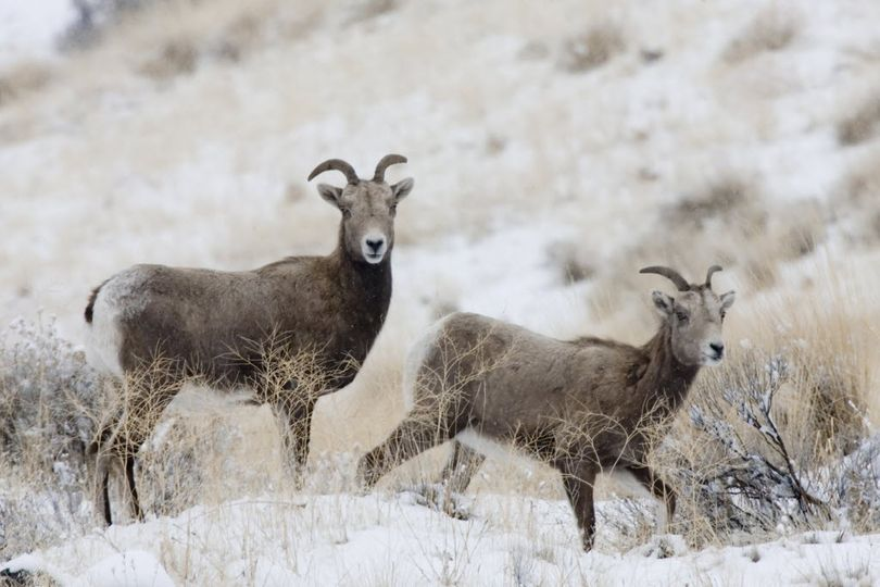 Bighorn sheep ewes. (Associated Press)