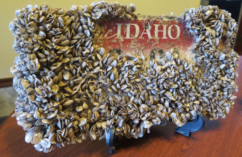 This Idaho license plate, immersed in Lake Mead for nine months, emerged thickly encrusted with invasive quagga mussels; some have been scraped off to show the plate underneath. Sen. Shawn Keough, R-Sandpoint, has the plate on display in her Capitol office in Boise; she wants Idaho to avoid similar infestations in its waterways. (Betsy Z. Russell)