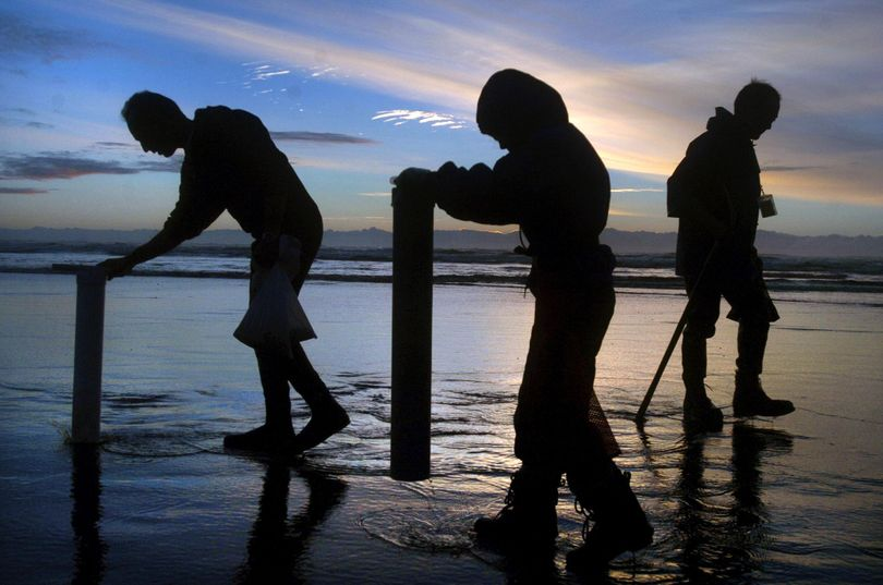 People dig for razor clams along the shoreline at Ocean Shores, Wash.,  in this file photo. (TONY OVERMAN / Associated Press)