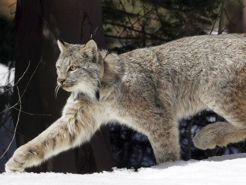 Canada lynx weigh about 20 pounds and have large paws that give them an advantage in pursuing prey and eluding predators when traveling across snow. They were declared threatened in 2000.