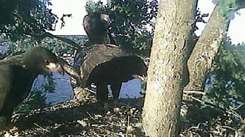 Bald eagles in a nest in Seattle as viewed through the Washington Fish and Wildlife Department's EagleCam. (Washington Department of Fish and Wildlife)