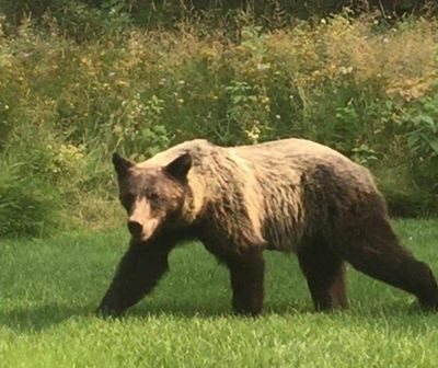 A young grizzly was observed in northern Idaho this week. (Youtube)