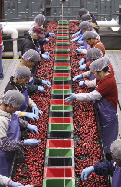 Workers sort cherries  for defects at the Chinchiolo Stemilt packing facility in Stockton, Calif.  (Associated Press / The Spokesman-Review)