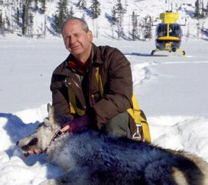 U.S. Fish and Wildlife Service wolf specialist Ed Bangs, seen here during collaring operations in Yellowstone National Park, Wyo., in January 2002, is surprised at how much their numbers have grown in the decade since gray wolves were reintroduced in the area. 