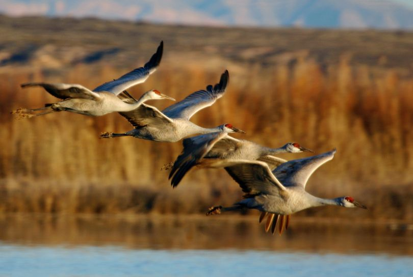 Sandhill cranes are an annual spring attraction near Othello.   (File Associated Press)