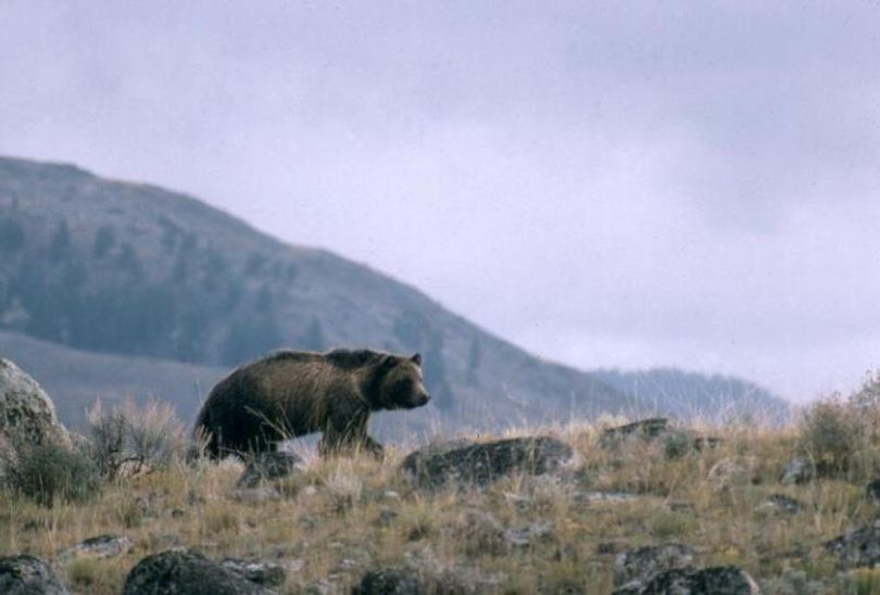 This undated photo provided by the National Park Service shows a grizzly bear walking along a ridge in Montana. Grizzly bears have rebounded from widespread extermination across the Northern Rockies over the past several decades. But conflicts with humans have been on the rise, and the death of a Montana man on Wednesday brings to at least seven the number of people fatally mauled by bears in the region since 2010. (uncredited / Associated Press)