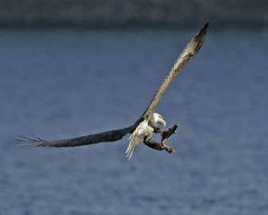 Bald eagles, such as this one snatching a spawning kokanee from Lake Coeur d'Alene, are popular winter birdwatching attractions. But eagles will be only one of dozens of species birders expect to identify during upcoming Christmas Bird Counts.   (Photo by Tom Munson / The Spokesman-Review)