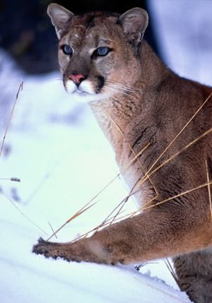 A mountain lion, also known as a cougar. (Associated Press)