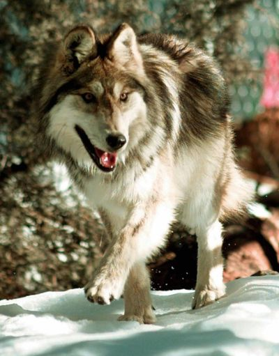 Wolves and other top-of-the-line predators have been linked to creating healthy ecosystems from top to bottom. (File Associated Press / The Spokesman-Review)