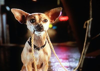 Gidget the talking Chihuahua became a pop-culture hit.  McClatchy Tribune (McClatchy Tribune / The Spokesman-Review)