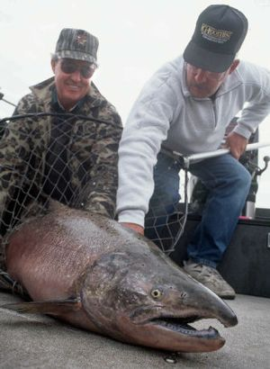 This 50-pound fall chinook salmon was caught in September using downriggers and plug-cut herring on the Hanford Reach of the Columbia River.  (Rich Landers / The Spokesman-Review)