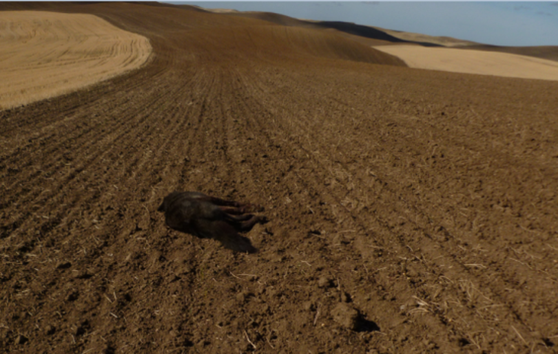 A wolf chased down and shot by a Whitman County farmer lies dead in a Palouse crop field on Oct. 12, 2014, in this photo snapped by responding wildlife officers. (Washington Department of Fish and Wildlife)