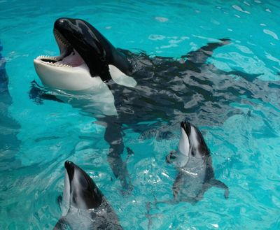 Lolita was sold to the Miami Seaquarium after her capture 50 years ago.  (Courtesy of Miami Seaquarium)