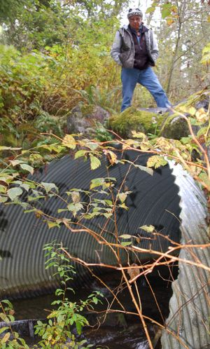 In this 2008 photo provided by the Northwest Indian Fisheries Commission, NWIFC Chairman Billy Frank Jr. surveys a state-owned culvert near the North Fork of the Nooksack River in northwest Washington. The commission says the culvert blocks salmon passage.  (Associated Press / The Spokesman-Review)