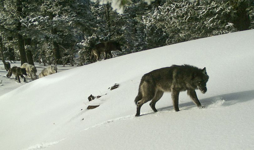 Wolves in the Snake River Pack are seem in a remote camera photo taken Feb. 1, 2017, in Hells Canyon National Recreation Area. (Oregon Department of Fish and Wildlife)