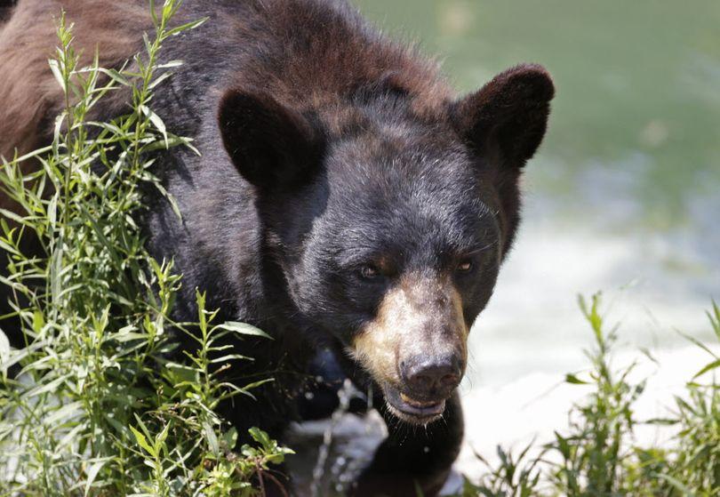 Black bear. (Associated Press)